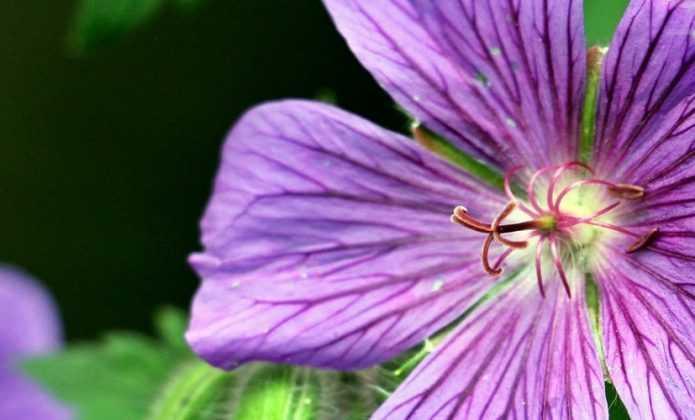 Géraniums vivaces : Planter, cultiver et entretenir