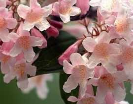 Le Kolkwitzia Pink Cloud ou Buisson de beauté : le bien nommé !