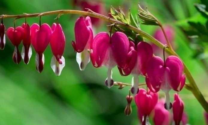 Coeur de Marie ou Dicentra spectabilis : réussir sa plantation
