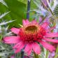 Echinacée ou Rudbeckia pourpre : 7 belles idées d'association