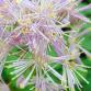 Thalictrum, Pigamon : 8 belles idées d'association