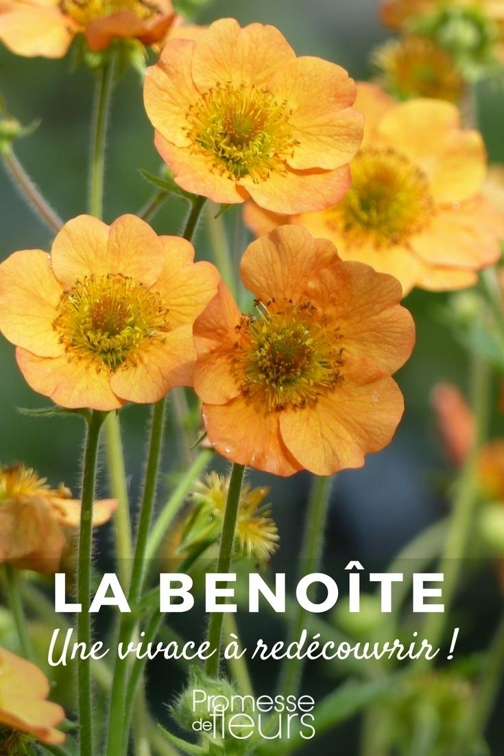 La Benoîte ou Geum : une charmante vivace à redécouvrir !