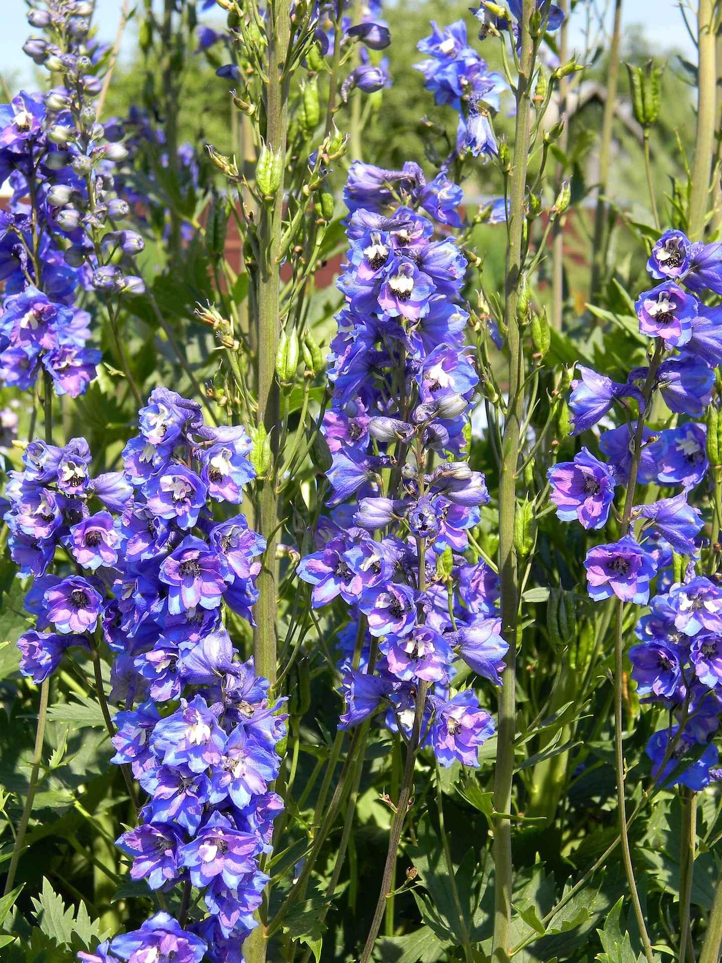 Delphinium ou pied d 39 alouette planter semer entretenir for Promesse de fleurs