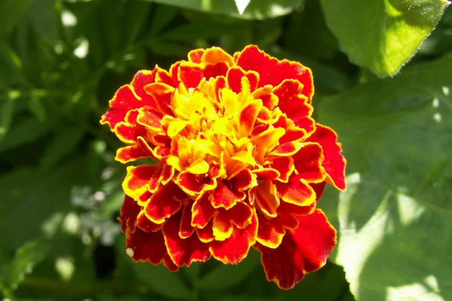 18 fleurs comestibles d couvrir et cultiver au jardin promesse de fleurs. Black Bedroom Furniture Sets. Home Design Ideas