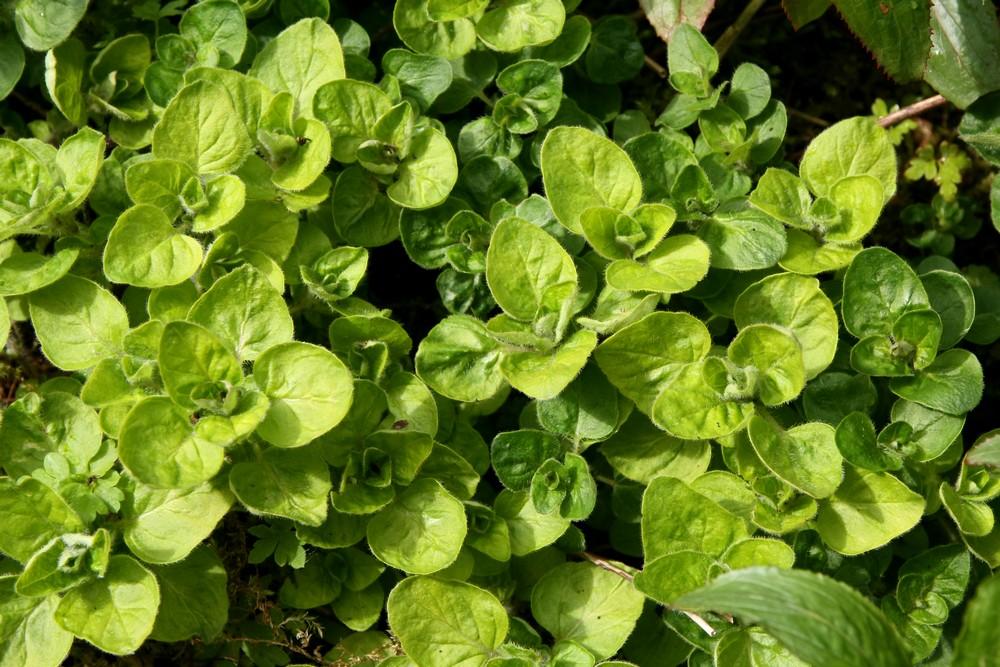 Plantes aromatiques à feuillage remarquable : mes préférées