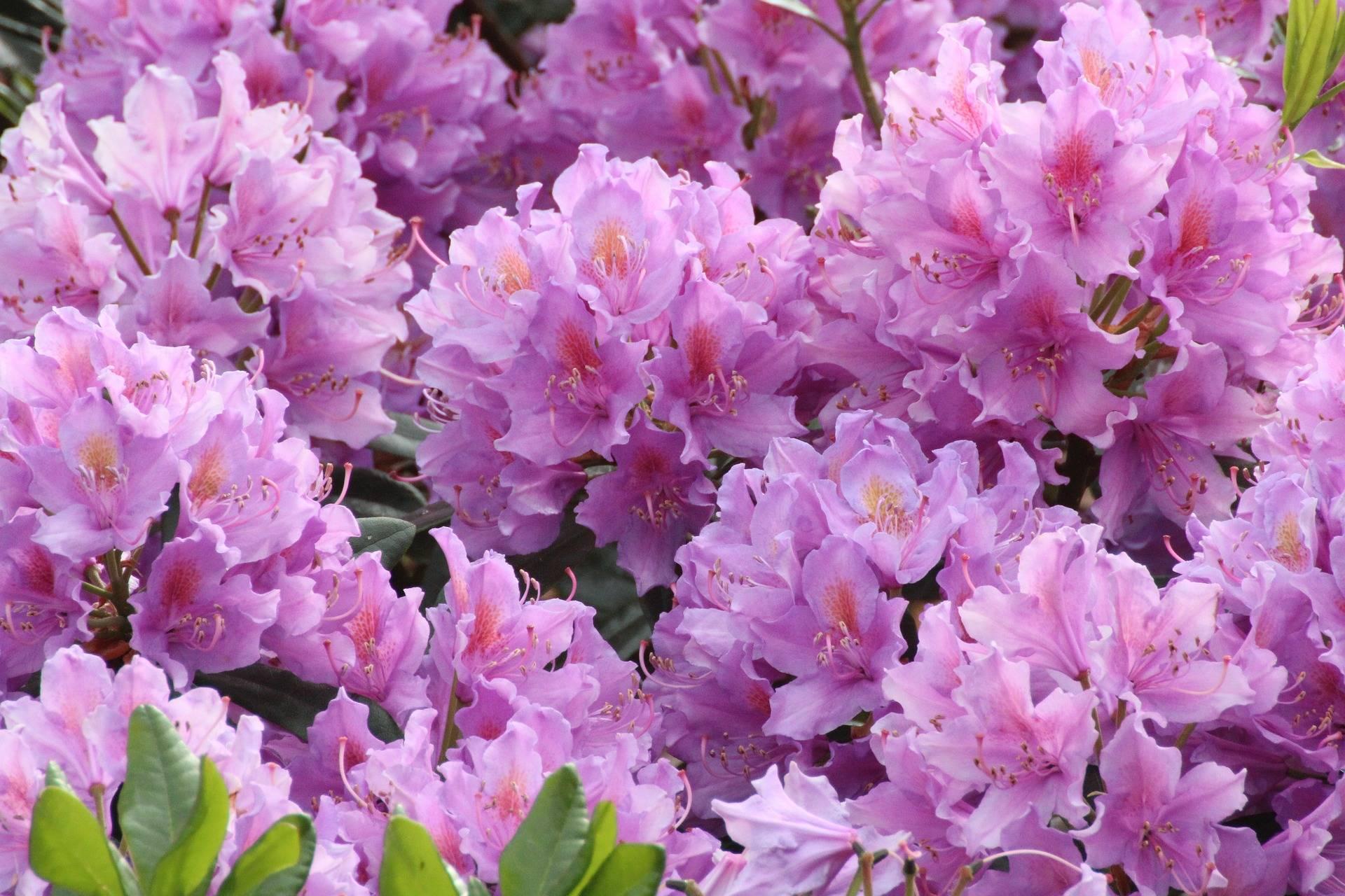 chez les rhododendrons le feuillage graphique et lgant reste attractif toute lanne ce qui rend ces arbustes intressants mme en dehors de la - Planter Un Rhododendron Dans Votre Jardin