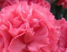 Oeillet ou Dianthus : 6 idées pour les associer au jardin