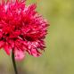 Pavots d'Orient : 8 idées d'association au jardin