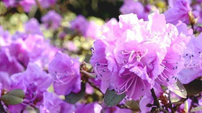 Rhododendron : Réussir Sa Plantation / Blog Promesse De Fleurs