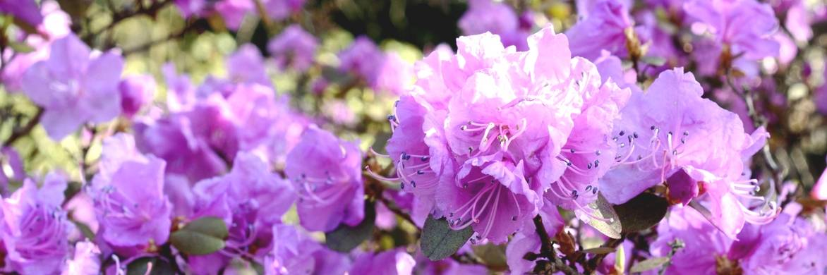 rhododendron russir sa plantation blog promesse de fleurs - Planter Un Rhododendron Dans Votre Jardin