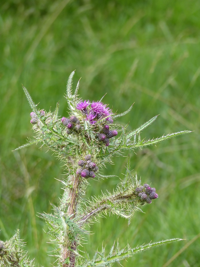 Impressions botaniques de retour d 39 ecosse - Le chardon d ecosse ...