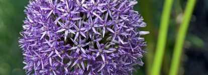 Allium : plantation, culture et entretien