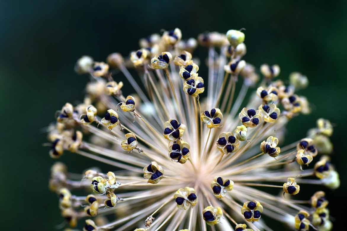 les fleurs séchées de l'allium