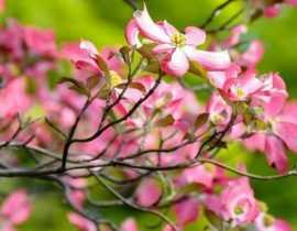 Cornouillers à fleurs : plantation, taille et entretien