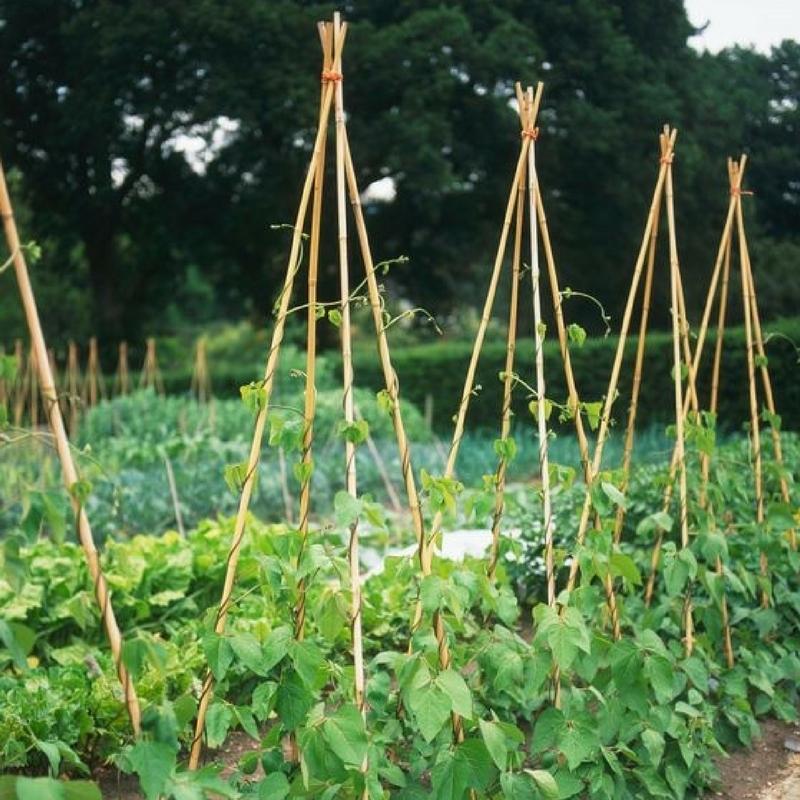 Comment planter des haricots semer et planter du basilic - Comment semer du persil ...