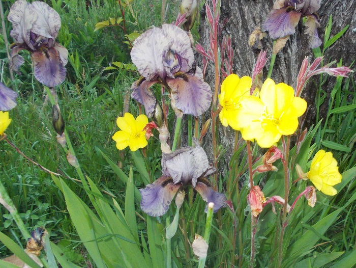 L'iris moderne, une plante vivace prolifique mais pas si facile.