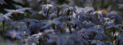 Ipheion : planter, cultiver et associer