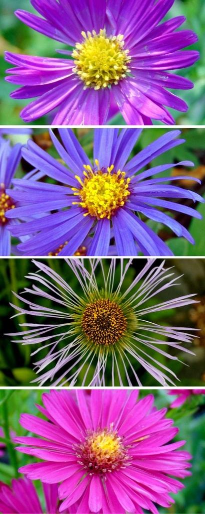 La floraison des asters