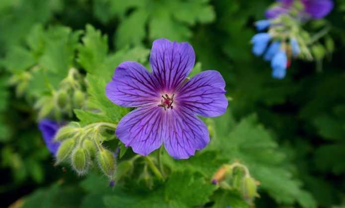 Les meilleurs g raniums vivaces pour l 39 ombre blog for Comment arroser les geraniums