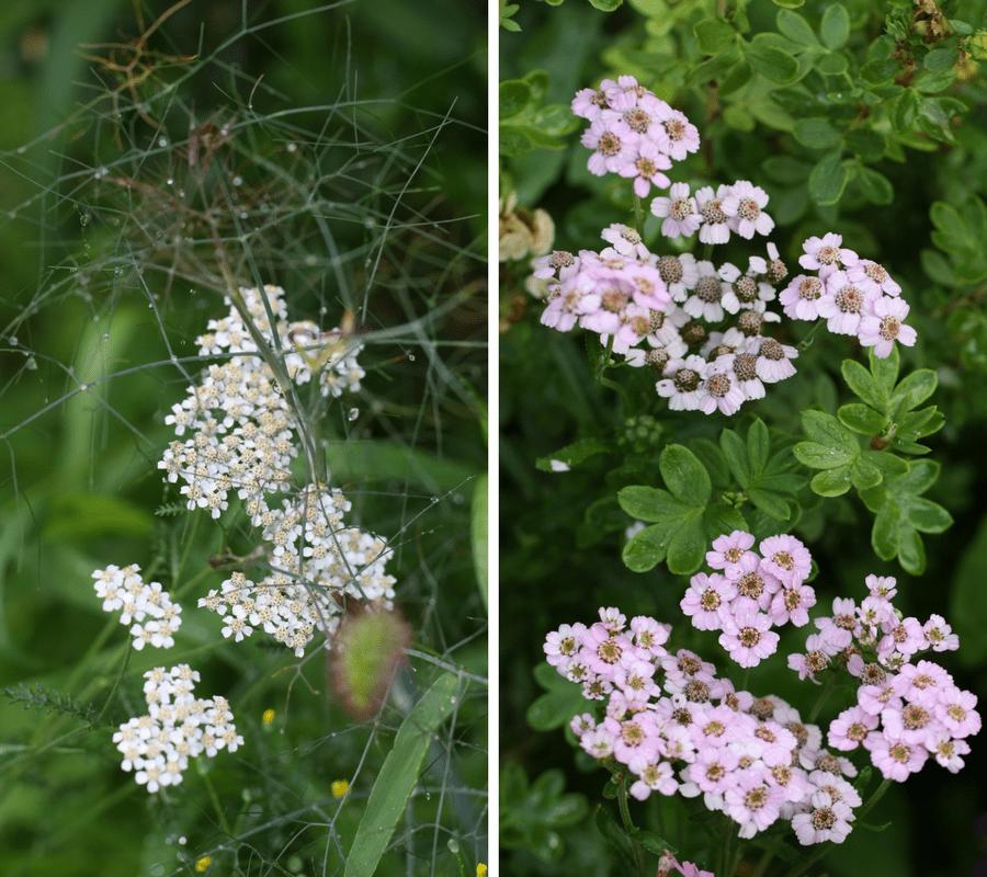 achillees, fleurs d'été