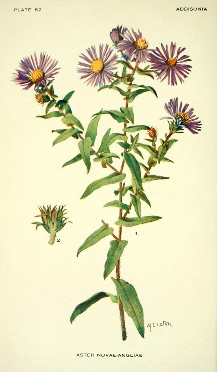 Planche botanique - Aster de Nouvelle-Angleterre