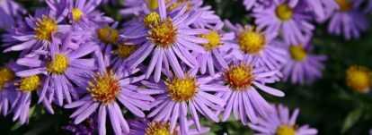 Asters : planter, cultiver et entretenir