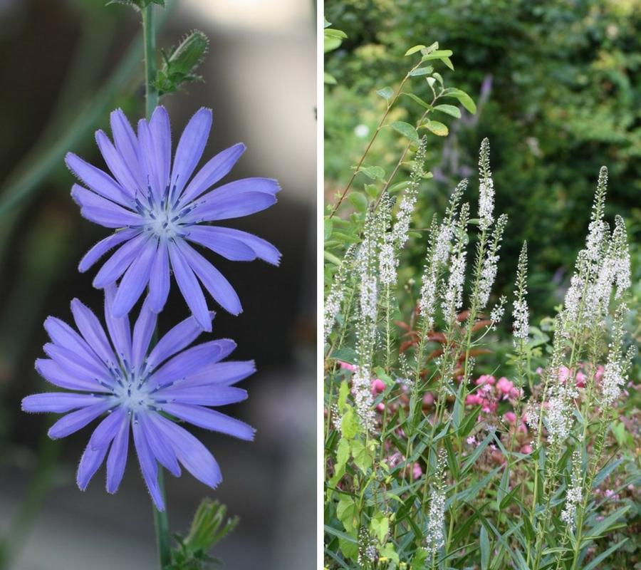 chicoree-lysimaque-fleurs d'été