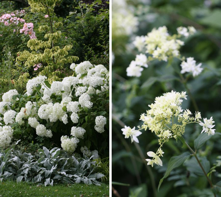hortensia, belles fleurs d'été