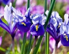 Iris reticulata : Planter et cultiver