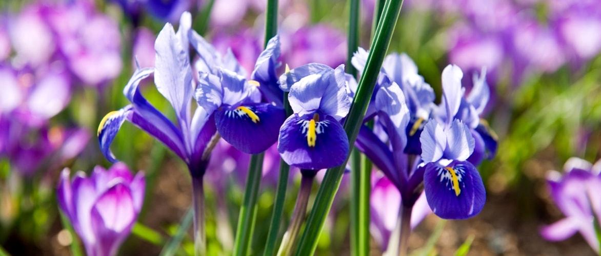 Iris reticulata planter cultiver associer et - Quand tailler les citronniers ...