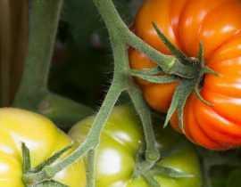 L'arrosage des tomates : comment faire ?
