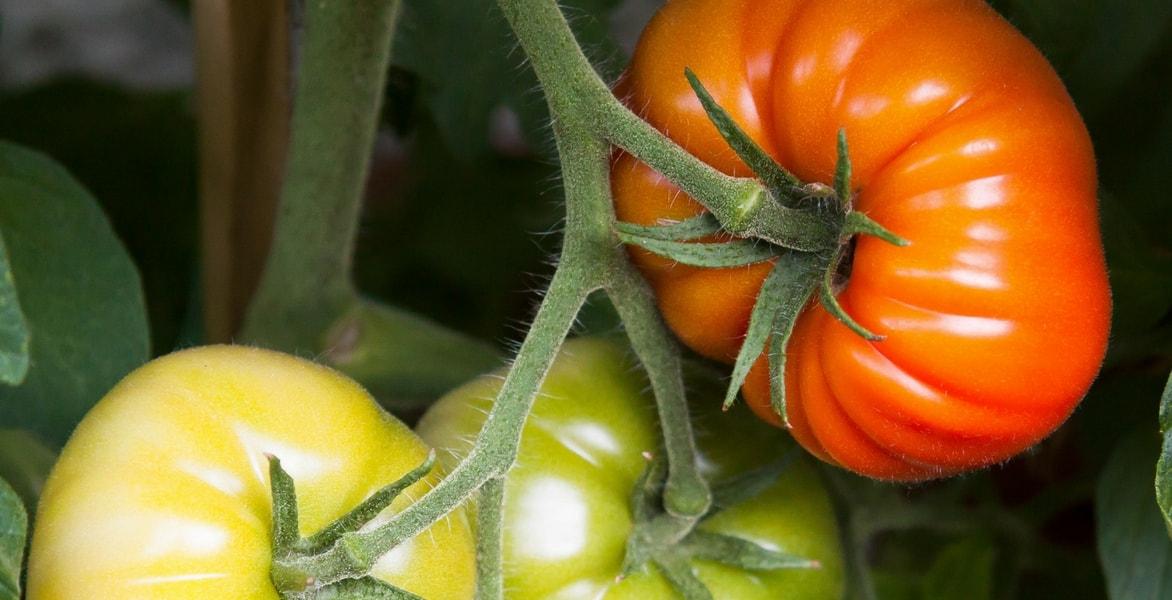 L Arrosage Des Tomates Comment Faire Promesse De Fleurs