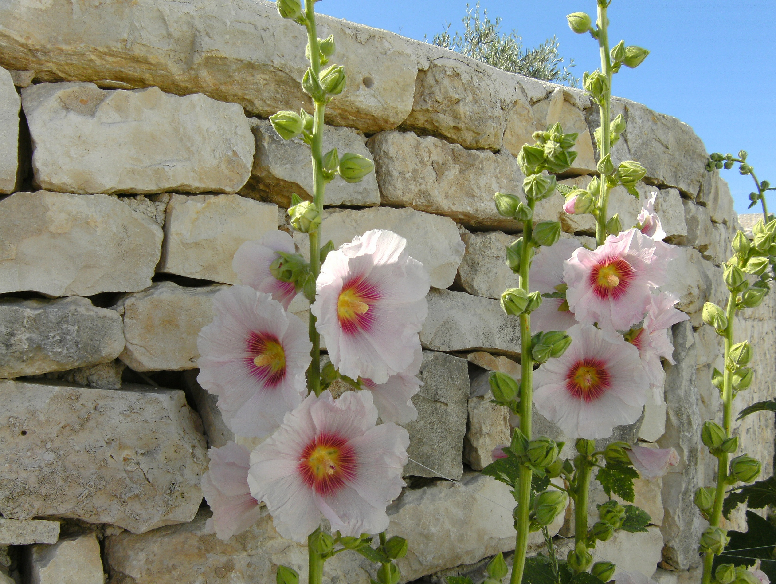 Semer les roses tr mi res c 39 est maintenant - Planter des roses tremieres ...