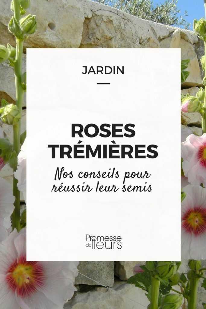 Semer les roses trémières, c'est maintenant !