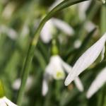Perce-neige ou Galanthus nivalis