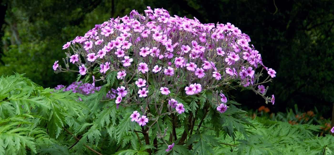 g 233 raniums vivaces comment les choisir promesse de fleurs
