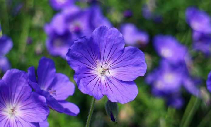 Associer les g raniums vivaces blog promesse de fleurs for Comment arroser les geraniums