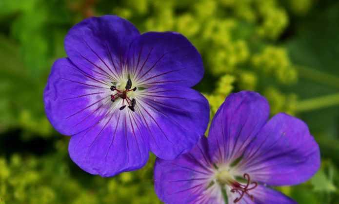 Géraniums vivaces : les meilleurs couvre-sols