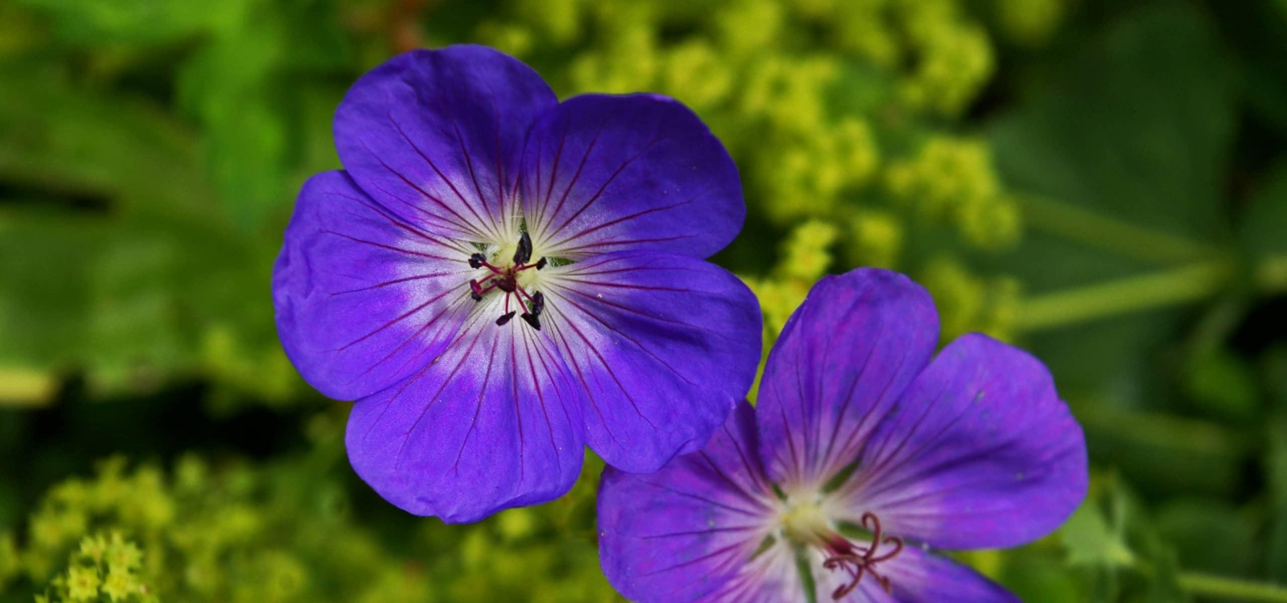 Couvre Sol Croissance Rapide géraniums vivaces : les meilleurs couvre-sols - promesse de