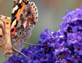 Quel Buddleia ou Arbre aux papillons choisir ?