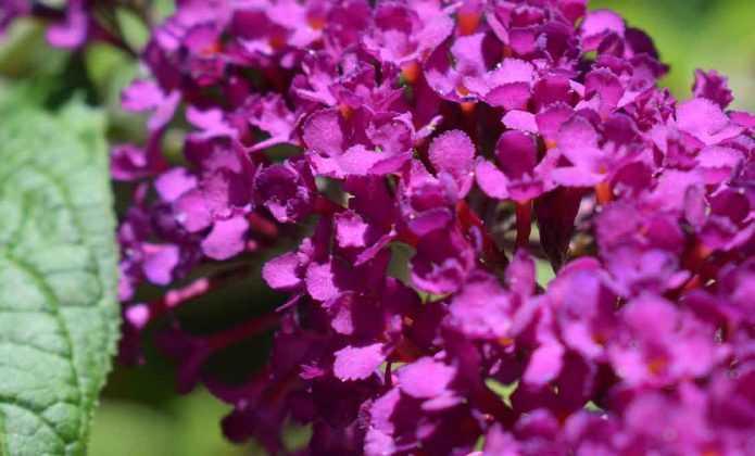 Buddleia, arbre à papillons : planter et entretenir