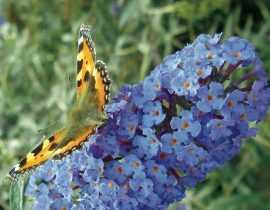 Buddleia, Arbre à papillons : comment bien le tailler