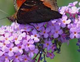 Buddleia, Arbre aux papillons : 8 idées d'associations