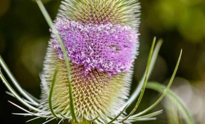 Plantes bisannuelles