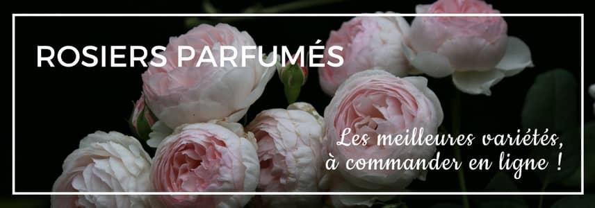 10 plantes fleurs odorantes et parfum es pour le jardin ou la terrasse promesse de fleurs. Black Bedroom Furniture Sets. Home Design Ideas