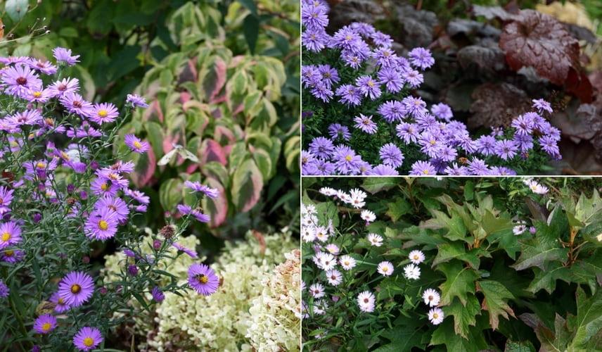 Asters et feuillages colorés (Cornus, Heuchères, Hortensias)