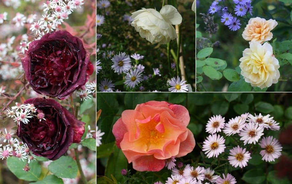 Une idée d'association au jardin : Asters et rosiers