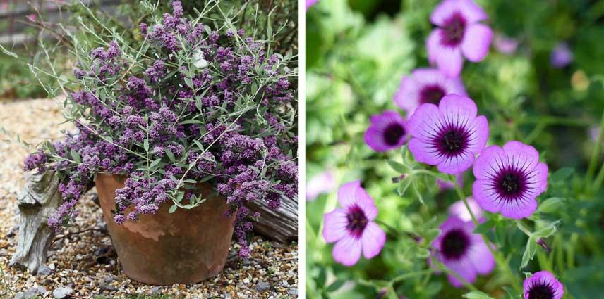 Arbre à papillons en pot et géranium vivace