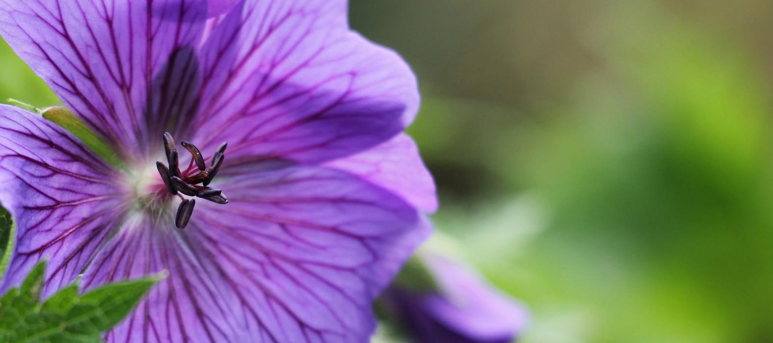 Comment planter les g raniums vivaces blog promesse de for Comment arroser les geraniums