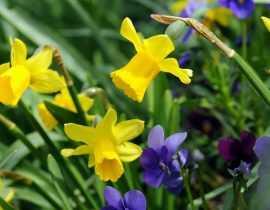 Narcisse ou jonquille : 8 idées d'associations